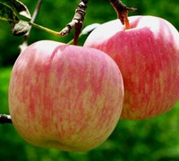 Fuji Apple - Malus domestica 'Fuji'