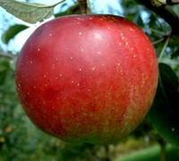 Stayman Winesap Apple - Malus domestica 'Stayman Winesap''