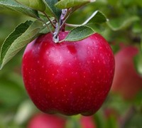 Red Delicious Apple - Malus domestica 'Red Delicious'