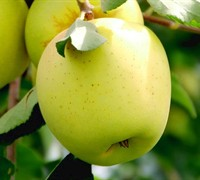 Yellow Delicious Apple - Malus domestica 'Yellow Delicious'