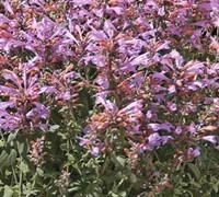 Agastache 'Arizona Sunset'  Anise,   Hyssop