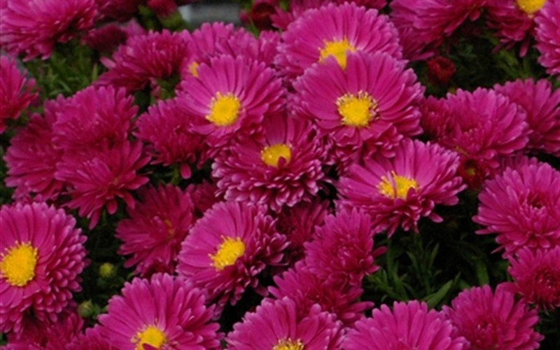 pots for plants kickin carmine aster 1 gallon perennial asters 12861