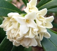 White Green Leaf Winter Daphne
