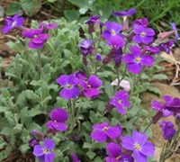 Aubreta deltoidea 'Whitewell Gem' - Purple Rock Cress