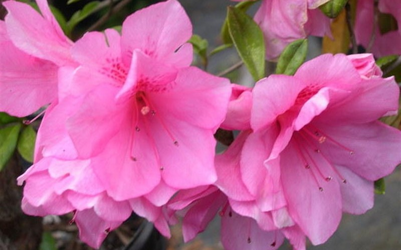 Buy Pink Ruffle Azalea 3 Gallon Azalea Shrubs Buy