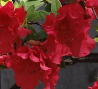 Shop Red Ruffle Azalea - 1 Gallon