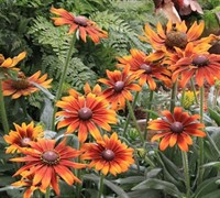 Echibeckia 'Summerina Orange'