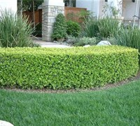 Shop Japanese Boxwood - 3 Gallon