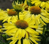 Cleopatra Yellow Coneflower