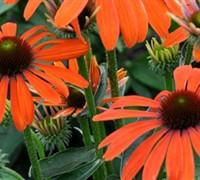 Echinacea p. 'Julia' Orange Coneflower