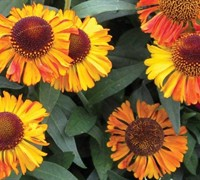 Helenium Short and Sassy Dwarf Sneezeweed