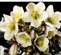 Helleborus Gold Collection 'Champion' - Ranunculaceae Helleborus Niger 'Champion'