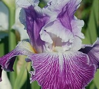 Iris germanica 'Telepathy'
