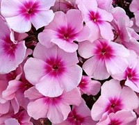 Bright Eyes Garden Phlox