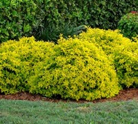 Gold Mound Duranta / Golden Dewdrop - Duranta erecta 'Gold Mound'