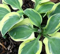 Mighty Mouse Miniature Hosta Lily