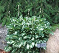 Pandora's Box Miniature Hosta Lily