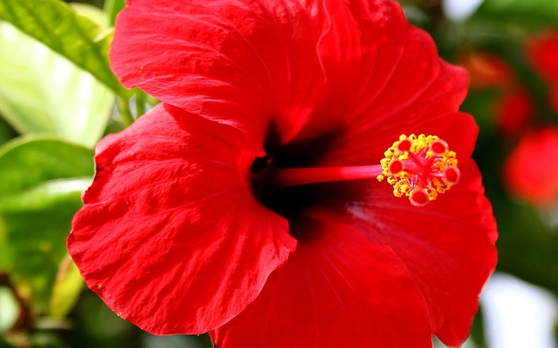 Buy Brilliant Red Tropical Hibiscus 3 Gallon Tropical Plants