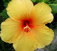 Joan Yellow Tropical Hibiscus