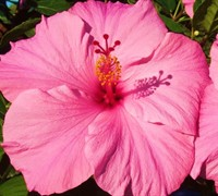 Seminole Pink Tropical Hibiscus