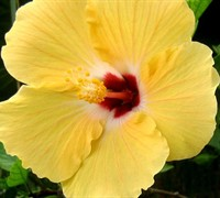 Sunset Yellow Tropical Hibiscus