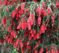Weeping Bottlebrush - Callistemon viminalis