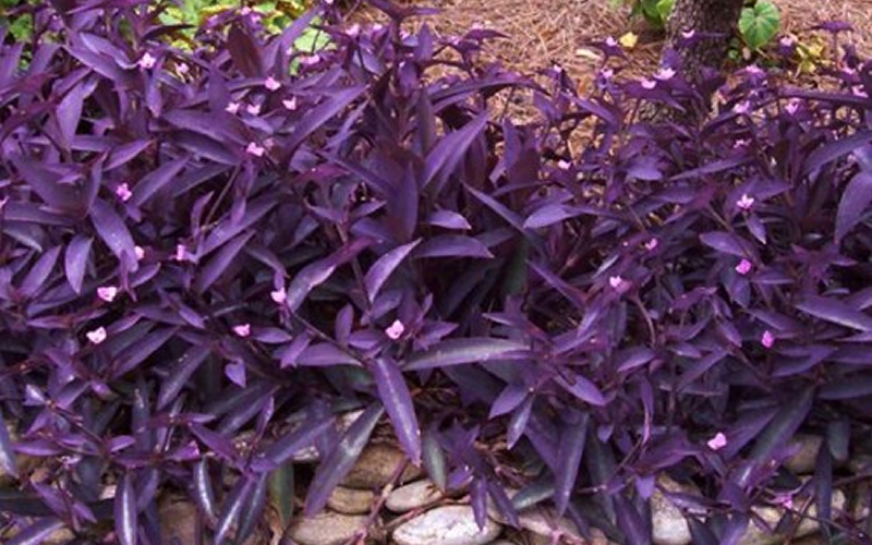 Purple Heart Spiderwort - 18 Count Flat of 3 1/2