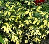 'Trinette' Variegated Arboricola - Hawaiian Umbrella Tree - Schefflera