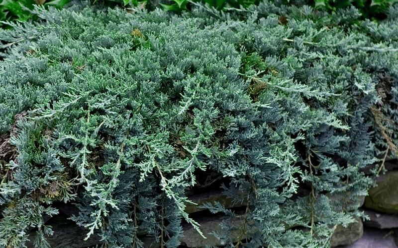 Blue Rug Juniper 2 5 Quart Groundcover Coniferous Junipers Togogarden