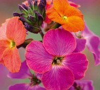 Erysimum 'Winter Orchid' Wallflower