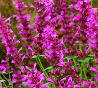 Shop 'Bolero'  Anise Hyssop  - 1 Gallon
