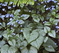 Shop Looking Glass Brunnera - Heart Leaf Forget-Me-Not - 8 Count Flat of Quart Pots