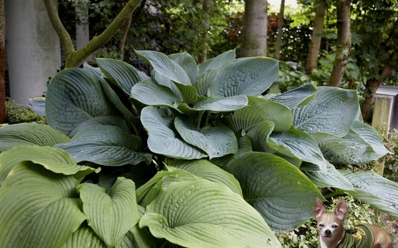 Empress Wu Giant Hosta Lily 1 Gallon Perennial Hosta Lily Togogarden