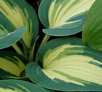 High Society Hosta Lily