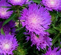 Shop Honeysong Purple Stokes Aster - 1 Gallon