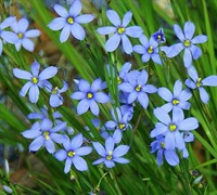 Shop Blue Note Blue Eyed Grass - 10 Count Flat of Quart Pots