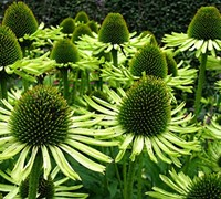 Echinacea 'Green Jewel'  Green Coneflower