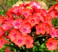 Orange Perfection Garden Phlox