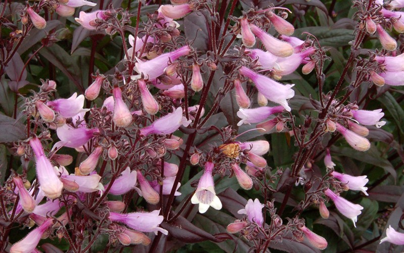 Dark Towers Penstemon - 1 Gallon - Penstemon - Beardtongue | ToGoGarden