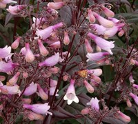 Shop Dark Towers Penstemon - 1 Gallon
