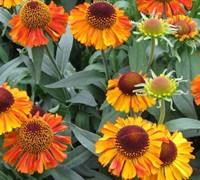 Helenium 'Short and Sassy'  Dwarf Sneezeweed