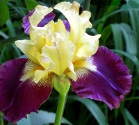 Jamaican Dream Tall Bearded German Iris