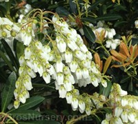 Shop Mountain Snow Pieris - 2.5 Quart