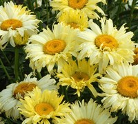 Shop Gold Finch Shasta Daisy - 1 Gallon