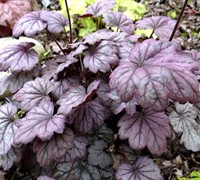 Shop Sugar Plum Heuchera - 1 Gallon