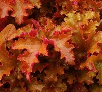 Zipper Heuchera