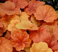 Shop Southern Comfort Heuchera - Coral Bells - 8 Count Flat of Quart Pots