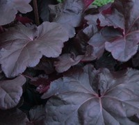Shop Obsidian Heuchera - 1 Gallon