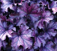 Shop Forever Purple Heuchera - 3 Count Flat of Pint Pots