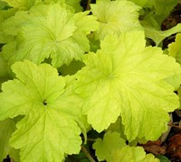 Electric Lime Heuchera - Coral Bells